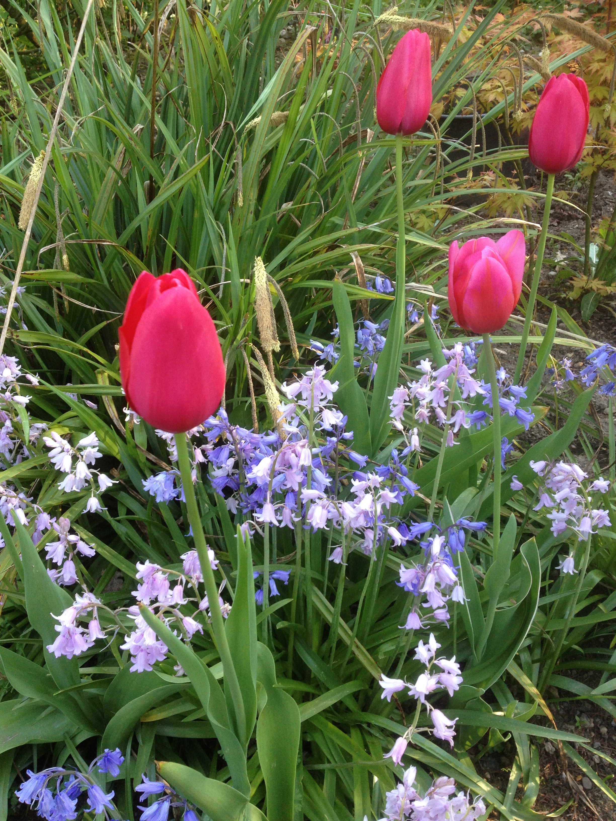 Tulips and Bluebells